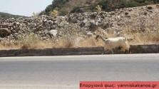 Κατσίκες στην εθνική οδό!