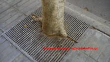 ΑΠΟ ΤΟΝ ΔΗΜΟ ΧΑΝΙΩΝ:  Νοικοκυρέματα με καθαρισμούς δέντρων