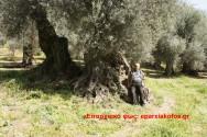 Η παλιά ελιά στον Τραχινιάκο Καντάνου (Και βίντεο)