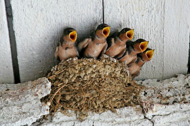 19-swallows-thumb-large