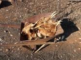 ΣΤΟ ΑΡΩΝΙ ΑΚΡΩΤΗΡΙΟΥ – Άγριοι σκύλοι κατασπάραξαν πάνω από 25 κότες