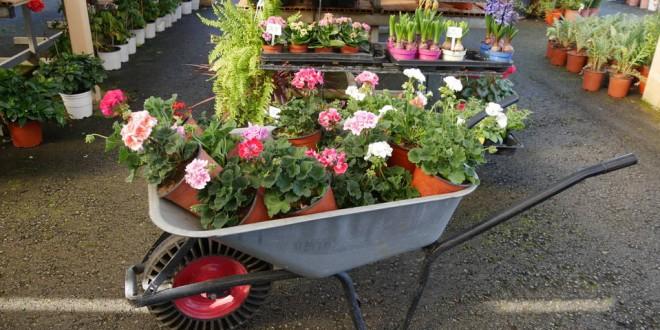 Φυτό γέννηση – άνθη – φυτά και κατασκευή κήπων  γκαζόν