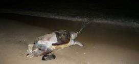 ΣΤΗ ΝΕΑ ΧΩΡΑ –  Ξεβράστηκε τεράστια χελώνα Καρέτα καρέτα