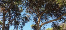 Αργοπεθαίνουν τα πεύκα νότια της Περιφερειακής Ενότητας Χανίων