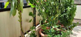 Σουσαμιά, ένα φυτό άγνωστο στους περισσότερους